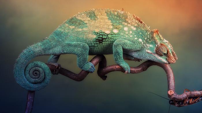 animals, reptile, chameleons