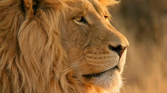 OS X, Apple Inc., lion, big cats