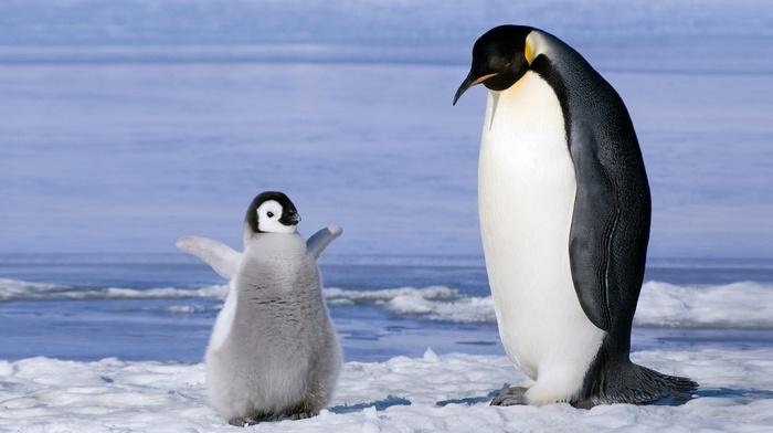 birds, ice, baby animals, penguins