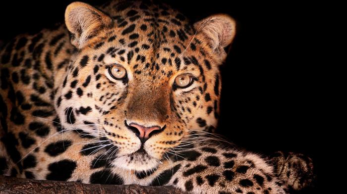 заставка на телефон леопард № 58297 без смс