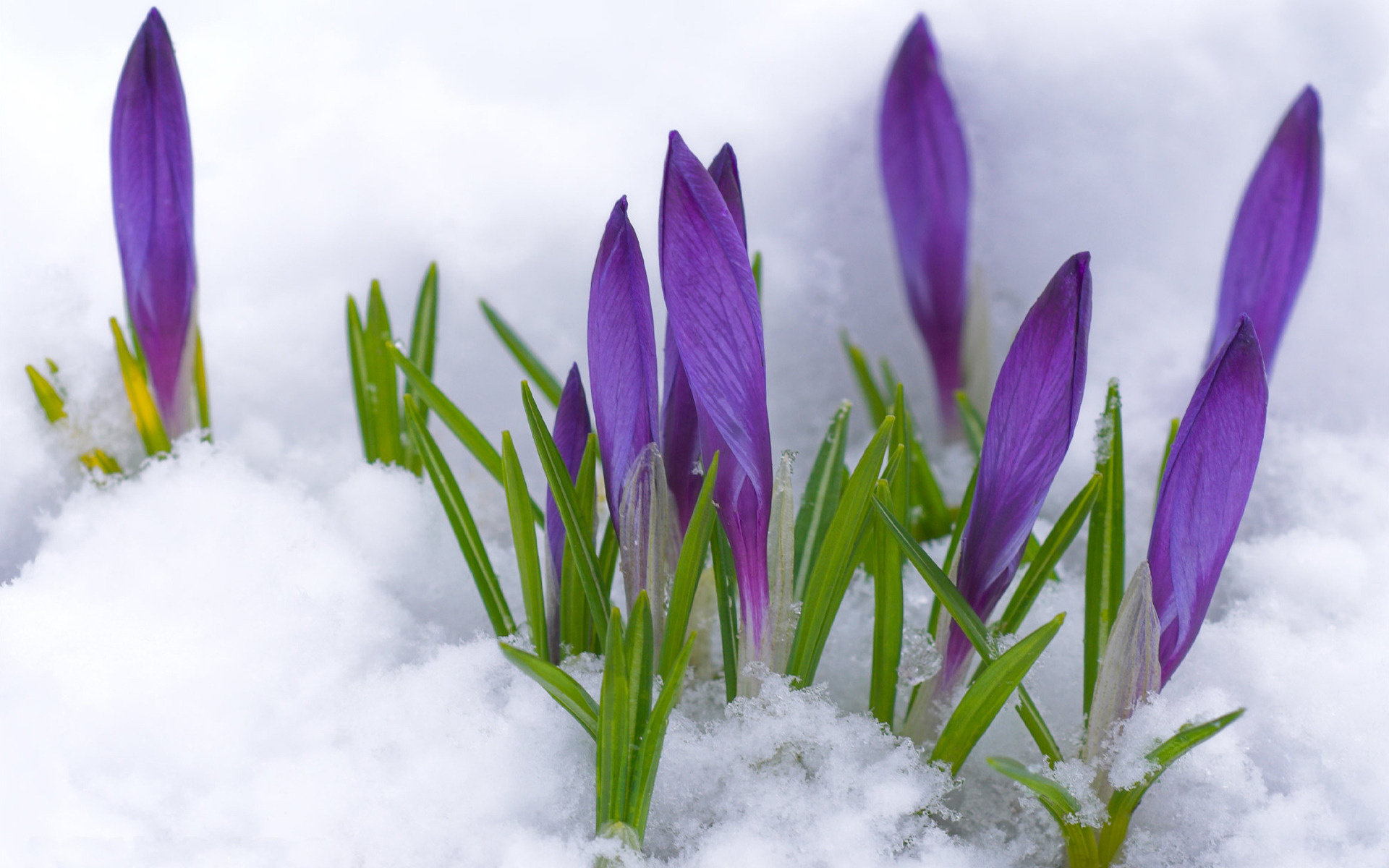 Flowers Snow Purple Spring Wallpaper 62829 1920x1200px On