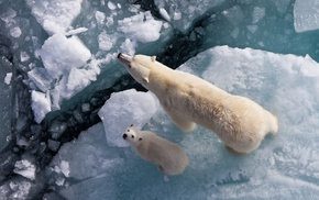 cubs, looking up, polar bears, ice, baby animals