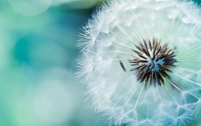 dandelion, plants, nature, white flowers, macro, flowers