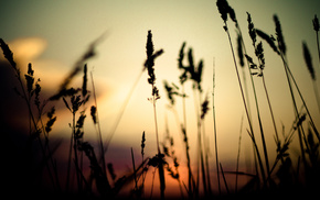 grass, sunset, spikelets, depth of field, nature