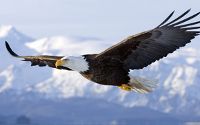 landscape, birds, flying, bald eagle, eagle, nature