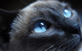 animals, blue eyes, Siamese cats, cat