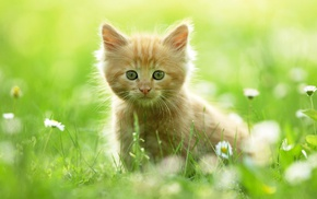 grass, kitten, animals, grassland
