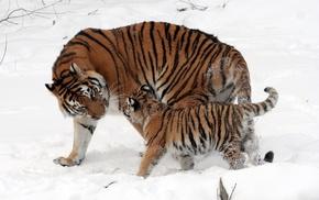 тигр, мама, тигренок, снег, зима, животные