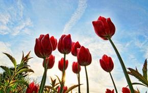 sky, flowers, tulips