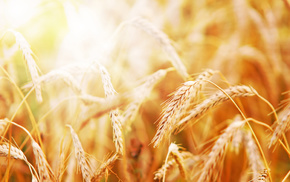 wheat, nature, Sun