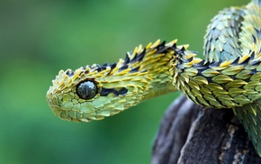 macro, animals, snake, vipers, reptile, nature
