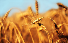 motion blur, nature, wheat, field