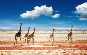 landscape, clouds, animals, giraffes
