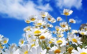 chamomile, sky, summer