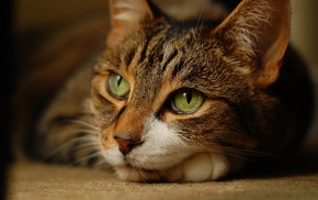 green eyes, animals, cat