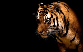 black background, animals, tiger