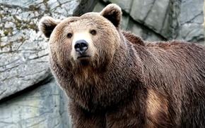 animals, bear