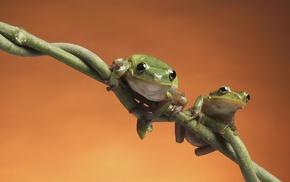 лягушки, сидят на ветке, зеленые существа, животные