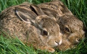 rabbits, animals, grass