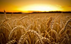 sunset, depth of field, field, macro, wheat