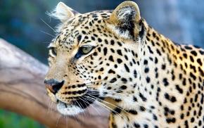 leopard, animals