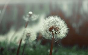 flowers, dandelion