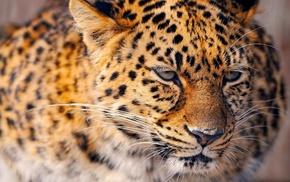 animals, leopard