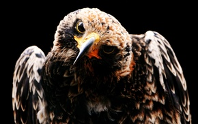 hawks, animals, birds