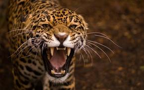 Jaguar, animals, teeth, jaguars
