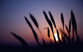 wheat, silhouette, sunset