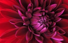 красный, лепестки, бутон, макро, цветы
