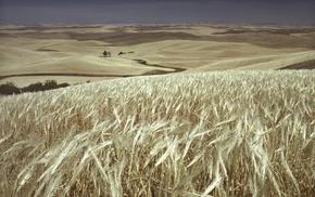 field, horizon, wheat, nature