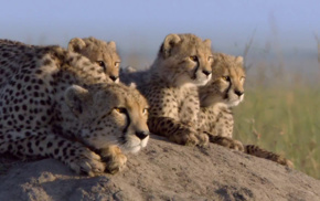 baby animals, nature, family, cheetahs, animals