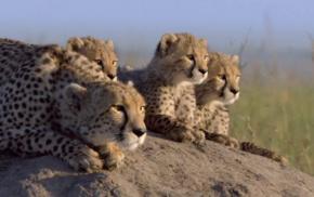 baby animals, nature, family, cheetahs, animals