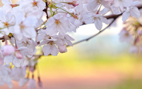 flowers, cherry, twigs, bloom, spring