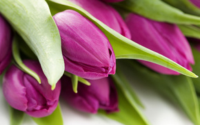 flowers, tulips, macro, photo