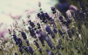 purple flowers, flowers, lavender