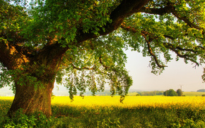 дерево, лето, Природа, поле, дуб