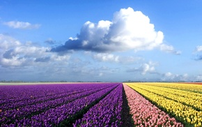 clouds, purple flowers, field, flowers, tulips, landscape