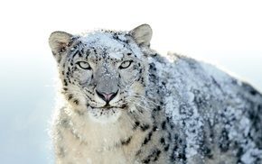 snow leopards, animals, snow, nature