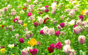spring, nature, plants, tulips, flowers