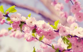 sakura, spring, petals, flowers, bloom