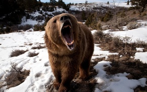 bears, Grizzly Bears, snow, animals