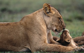baby animals, lion, animals