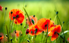 nature, poppies, red, greenery, flowers